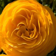Free A Perfect Ranunculus Royalty Free Stock Images - 2174309