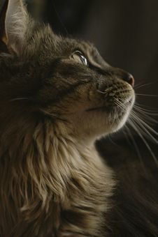 Free Close Up Of Cat Profile Royalty Free Stock Image - 2174536