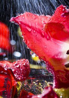Free Tulip In The Rain Stock Photo - 2175750