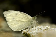 Free Pieris Napi Royalty Free Stock Photography - 2176277