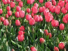 Free RED TULIPS Royalty Free Stock Images - 2176919
