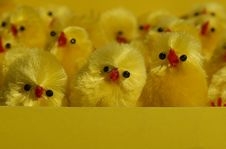 Free Too Much Chicks Royalty Free Stock Photography - 2177537