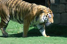 Free Tiger Stock Photos - 2179253