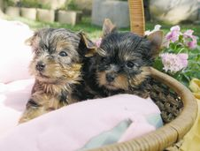 Free Two Yorkie Puppies Stock Image - 2179261