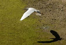 Free Snowy Egret In Flight Royalty Free Stock Image - 2179706