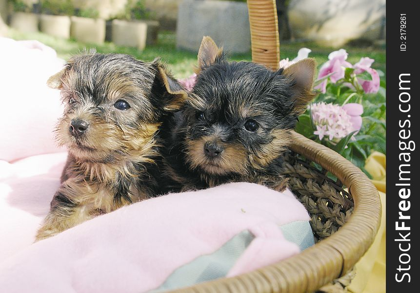Two Yorkie Puppies Free Stock Images Photos 2179261