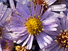 Free Aster And Dew Drop In Sun Royalty Free Stock Photo - 21705675