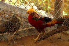 Free Long-tailed Pheasant Stock Photo - 21707770