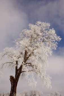 Free Frosted Tree. Royalty Free Stock Image - 21709816