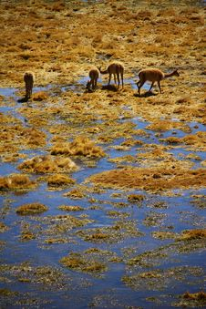 Free Guanaco Stock Photography - 21709882