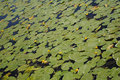 Free Water Lilies Background Stock Photography - 21714582