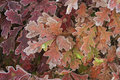 Free Colorful Oak Leaves,autumn Stock Photos - 21716153