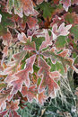 Free Frosted Oak Leaves Royalty Free Stock Photos - 21717868