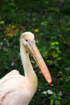 Free Pink Pelican Royalty Free Stock Image - 21714856