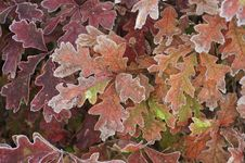 Free Colorful Oak Leaves,autumn Stock Photos - 21716153