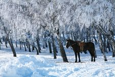 Free Horse Against The Frosty Trees. Royalty Free Stock Photos - 21720248