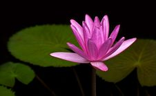 Free Pink Lotus Blossom Royalty Free Stock Photography - 21721867