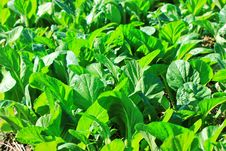 Free Vegetable Garden Royalty Free Stock Photo - 21722365