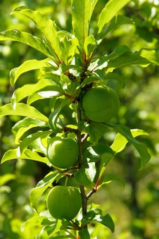 Young Green Plums On A Plum Tree Royalty Free Stock Photo