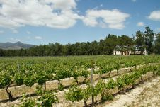 Free Vineyards On A Wine Farm Stock Photo - 21724130