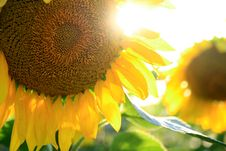 Free Sunflowers In A Field Stock Photo - 21724530