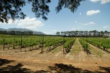 Free Vineyards On A Wine Farm Royalty Free Stock Photography - 21726137