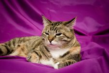 Free Cat On Violet Background Stock Photos - 21726953