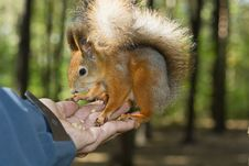 Free The Tamed Squirrel Royalty Free Stock Photo - 21728365