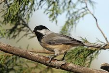 Free Black Capped Chickadee Stock Images - 21732734