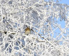 Bird On Tree Branch  In The Winter Stock Image