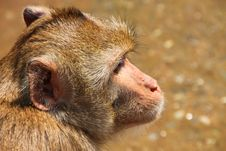 Free Long-tailed Macaque Monkey Royalty Free Stock Image - 21743606