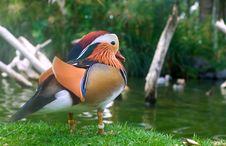 Free Mandarin Duck Stock Photo - 21745120