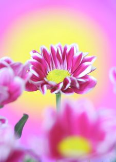 Free Chrysanthemum Royalty Free Stock Photography - 21746577