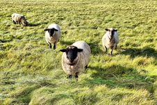 Free Sheep On A Meadow Stock Image - 21748091