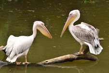 Free Pelican And Great White Pelican Stock Photos - 21748403