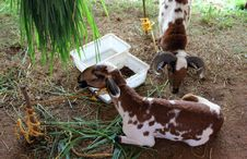 Free Diary Goats Stock Photography - 21754502