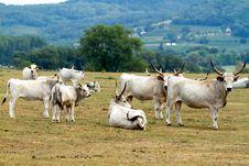 Hungaryan Bulls Stock Photography