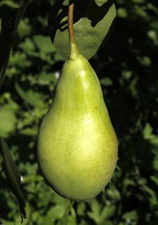 A Green Pear Hanging On A Branch Royalty Free Stock Image