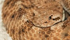Free Desert Horned Viper Royalty Free Stock Photos - 21757358