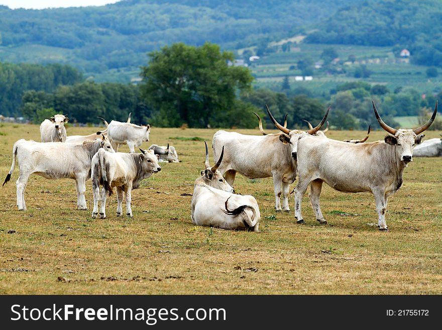 Hungaryan bulls