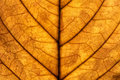 Free Walnut Leaf Macro Royalty Free Stock Image - 21760866