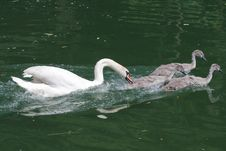 Free Swan Raising Offspring Royalty Free Stock Image - 21761356