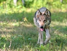 Wolf Looking At Camera Stock Images