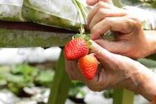 Picking Strawberries Royalty Free Stock Images