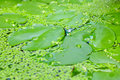 Free Closeup Of Lotus Leaf And Water Fern Stock Images - 21773764