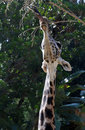 Free Giraffe Royalty Free Stock Photography - 21777027