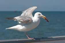 A Piece Of Meat It Gull Over The Sea. Stock Photos