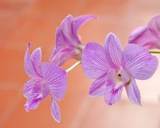 Free Beautiful Purple Orchid, Vanda Stock Photos - 21773743