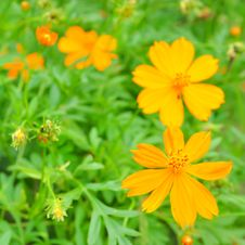 Free Beautiful Yellow Cosmos Flower Royalty Free Stock Photography - 21773747