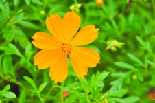 Beautiful Cosmos Flower Royalty Free Stock Photography